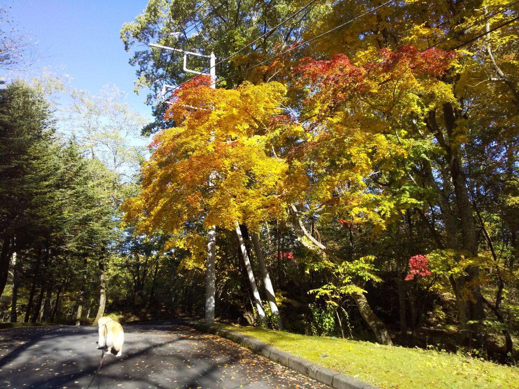 黄色に色づいた紅葉